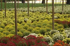 Campos de flores em Holambra. Foto: Miguel Schincariol