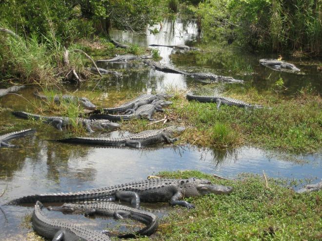 Foto: http://pixabay.com/en/usa-miami-everglades-crocodile-202436/