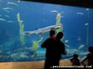 Tubarões, Monterey Bay Aquarium