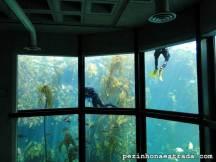Mergulhadores limpam o aquário, no Monterey Bay Aquarium
