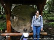 A largura do tronco da Sequoia sempervirens dá uma noção da idade da árvore. A mais velha dessa floresta tem pelo menos 1.200 anos.